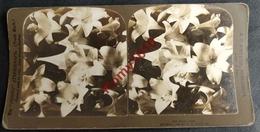 Photo Stéréoscopique. Fleurs.   Easter  Lilies. Bouquet De Lys. - Photos Stéréoscopiques
