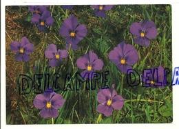 Violettes à Long éperon,Long-Spurred Violet. Foto, Druck Und Verlag Engadin Press N°242 - Non Classés