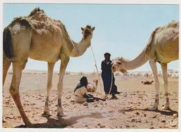 1626/ EL AAIUN [LAAYOUNE]. Mercado De Camellos. Marché Aux Chameaux. Camels Market. - Non écrite. Unused. - Westsahara