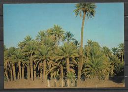 SAUDI ARABIA POSTCARD PALM GROVE NEAR BISHA - Saudi Arabia