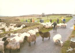 """29 - Ile D'Ouessant - La Foire Aux Moutons - Sheep Fair - Hammelmarkt - éd. D'Art  Jack """"Couleurs De Bretagne"""" N° 3747 - Ouessant"""