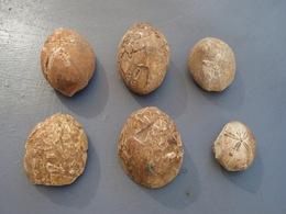 6 Fossiles D'oursin - Fossielen