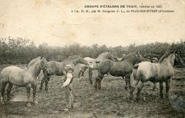 PLOUGOURVEST    *** ETALONS DE TRAIT  DE MR GUEGUEN  EN 1924 *** CHEVAL ***  RARE *** - France