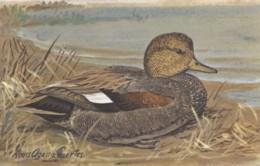 Agassiz Fuertes Artist Image, Gadwall 'Gray Duck' In Breeding Plumage, C1960s Vintage Postcard - Birds