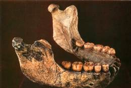 Musée De Tautavel, Mandibule Adulte Jeune (scan Recto-verso) KEVREN0044 - Autres Communes