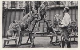 RAUBTIERNUMMER ZIRKUS LÖWEN TIGER TIERLEHRER DRESDNER ZOO - Gel.1939, Gute Erhaltung - Zirkus