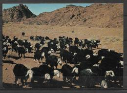 SAUDI ARABIA POSTCARD , VIEW CARD NEJDI SHEEP - Saudi Arabia