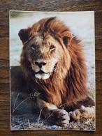 L11/114 Lion. Animaux D'Afrique En Liberté - Lions