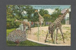 ANIMAUX - ANIMALS - GIRAFFES - GIRAFFE - ZOO - THE CHICAGO ZOOLOGICAL PARK AT BROOKFIELD ILLINOIS TWO SPECIES ARE SHOWN - Girafes