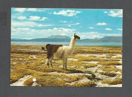 ANIMAUX - ANIMALS - LAMA IN THE BACKGROUND VOLCANO URBINAS 18,478 Ft. - Autres