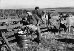 L'AUBRAC - Scène De Montagne - Vaches - Lait - Autres Communes