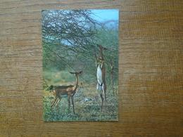 "Kenya , Kensta Wildlife Series , Gerenuk """" Beau Timbre Du Kenya """" - Kenya"
