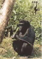 Postcard Paignton Zoo Western Lowland Gorilla My Ref  B23601 - Animals