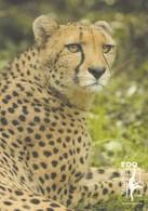 Postcard Paignton Zoo Cheetah Close Up Study My Ref  B23602 - Cats