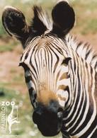 Postcard Paignton Zoo Hartmann's Mountain Zebra Close Up Study My Ref  B23603 - Zebras