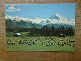 New Zealand's , Highest Mountain , Ahigh Country Sheep Scène , Glentanner Station In The Tasman Valley - Nouvelle-Zélande