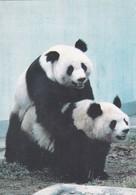 CPM PANDA   CHINA - Animaux & Faune