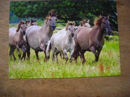 Konik Horses (Equus Caballus) Chevaux - Paarden