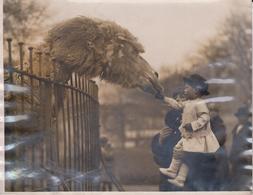 PETER PLAYFAIR  CHAMEAU KAMEL KAMEEL CAMEL CAMELLO AMINEAU ANIMALS  21*16CM Fonds Victor FORBIN 1864-1947 - Photos