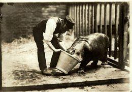 AT THE ZOO BABY HIPPOPOTAMUS  Nilpferd   HIPOPÓTAMO HIPPOPOTAME  16 * 12 CM Fonds Victor FORBIN 1864-1947 - Fotos