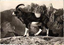CORSE - Mouflon Aux Aiguilles De BAVELLA - Belle Carte Postée à Porto Vecchio Le 31.7.1964 - Zonder Classificatie