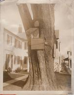 TREE MEMORIAL HARRINGTON HOUSE LEXINGTON   Dendrology, Forest, Xylology, Forestry 26*20CM Fonds Victor FORBIN 1864-1947 - Lugares