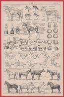 Cheval. Chevaux. Anatomie, Allures, Races. Illustration Adolphe Millot. Larousse 1920. - Vieux Papiers