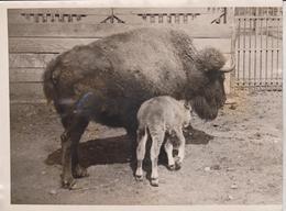 CENTRAL PARK MENAGERIE BABY BUFFALO BISON BISONTE 20 *15 CM Fonds Victor FORBIN 1864-1947 - Fotos