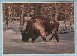 USSR / Post Card / Soviet Union / Belorussia Belarus Bialowieza Forest. Landscape. Bison. Aurochs 1958 - Belarus