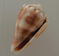 Conus Mus Trouvé Vivant Martinique (Ste-Luce) 22,9mm F+++ ORIGINAL N2 - Coquillages