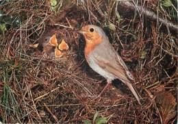 Animaux - Oiseaux - Rouge Gorge - Nid - Oisillons - Voir Scans Recto-Verso - Oiseaux