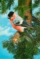 Animaux - Oiseaux - Bouvreuil Pivoine - Voir Scans Recto-Verso - Oiseaux