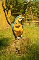 Animaux - Oiseaux - Perroquet - Blue And Gold Macaw - Voir Scans Recto-Verso - Birds