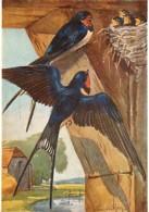 Animaux - Oiseaux - Art - Dessin - Peinture - Medici Bird Series - Swallow - Eileen A Soper - Etat Trous De Punaise Visi - Oiseaux
