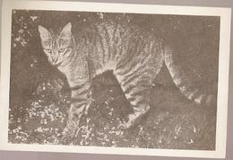 Mozambique ** & Postal, Wild Cat, Felis Silvestris, Imagens De Africa, Edição Cambaco (5778) - Mozambique