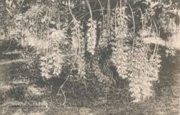 PC85600 Orchid. Dendrobia Superba. Trinidad. Davidson And Todd - Cartes Postales