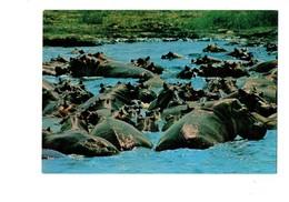 Cpm - Hippopotames - Hippopotame - - Hippopotamuses