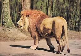 Lion D'Afrique (2 Scans) - Leeuwen
