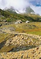 Arrière Saison En Clarée Hautes Alpes Avec Troupeau (2 Scans) - Breeding