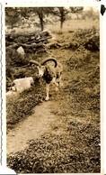 CORSE - ZONZA - Petite Photographie Du Mouflon, Mascotte De L'Hôtel Du Mouflon D'Or - Années '30 - France