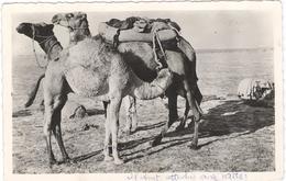 Chameaux Et Chamelon Nr 109  - Camel - Dromedaris  -  Kameel - Túnez
