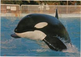 Orca Assassina, Killer Whale, Killerwal, Epaulard. Non Viaggiata - Altri