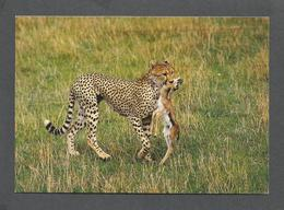 ANIMAUX - ANIMALS - AFRICAN WILDLIFE CHEETAH WITH A KILL - 17 X 12 Cm  6¾x4¾ Po - BY SAPRA - Lions