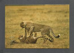 ANIMAUX - ANIMALS - AFRICAN WILDLIFE CHEETAH - 17 X 12 Cm  6¾x4¾ Po - BY SAPRA - Lions