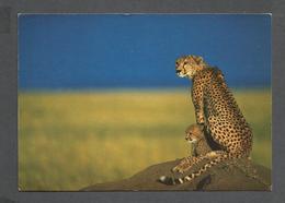 ANIMAUX - ANIMALS - AFRICAN WILDLIFE CHEETAH - 17 X 12 Cm  6¾ X 4¾ Po - BY SAPRA - Lions