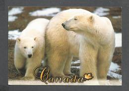 ANIMAUX - ANIMALS - FROM CANADA IN THE WILD POLAR BEARS LIVE AVERAGE OF 15-18 YEADS - 17 X 12 Cm  6¾ X 4¾ Po - Ours