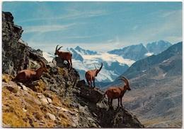 VALLE D'AOSTA, PARCO NAZIONALE DEL GRAN PARADISO, Stambecchi - Bouquetins, Used Postcard [23180] - Italy