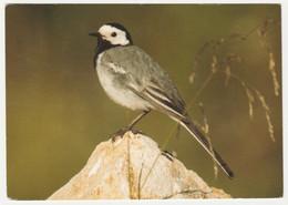 WHITE WAGTAIL BIRD - Birds