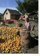 Madagascar Photo Pierrot Men Fianarantsoa, Recolte Des Oranges, Enfant - Madagascar