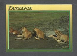 ANIMAUX - ANIMALS - TANZANIA - LIONS OF NGORONGORO - BY JOHN HINDE - PHOTO J.B. DA SILVA - Lions